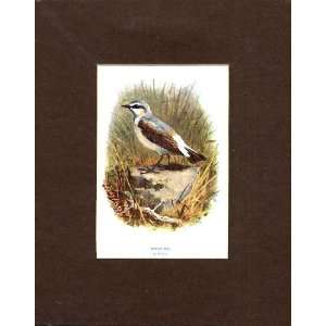 White Ear Thorburn Old Antique Bird Print C1910 Mounted