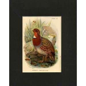 Tree Partridge Old Antique Bird Print C1897 Mounted